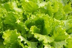 Свежий зеленый салат. Стоковое фото RF