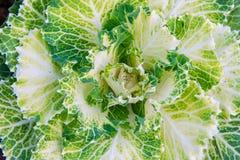 Свежий зеленый салат стоковая фотография rf