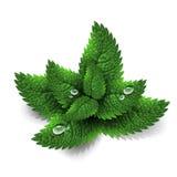 свежий зеленый цвет выходит мята Стоковое Изображение RF