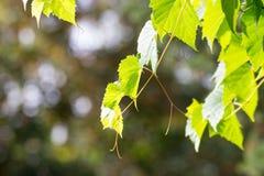 Свежий зеленый цвет выходит лоза виноградин Стоковые Изображения RF