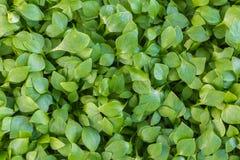Свежий зеленый цвет листает предпосылка стоковое изображение rf