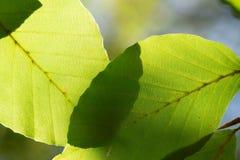 Свежий зеленый цвет leaf3 Стоковые Изображения