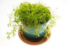 Свежий зеленый selaginella в зеленом баке Стоковое Изображение