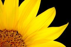 свежий изолированный солнцецвет Стоковая Фотография
