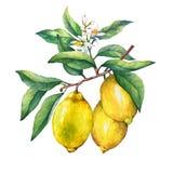 Свежий лимон цитрусовых фруктов на ветви с плодоовощами, зелеными листьями, бутонами и цветками Стоковые Изображения