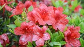 Свежий и красный цветок Стоковые Фотографии RF