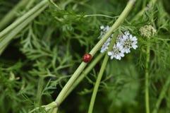 Свежий и красный ladybird на стержне стержня цветка петрушки стоковое фото rf