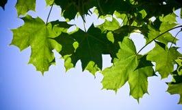 свежий клен листьев Стоковая Фотография