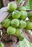 Свежий кокос Стоковое Изображение RF