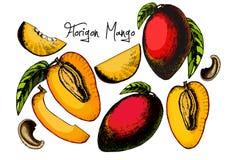 Свежий комплект манго изолированный на белой предпосылке Иллюстрация штока