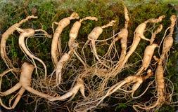 Свежий корейский корень женьшени стоковые изображения