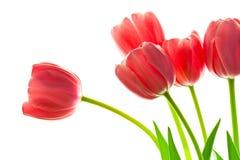 Свежий красивый букет тюльпанов против белой предпосылки стоковая фотография rf