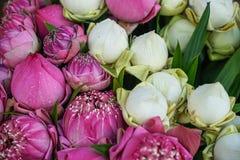 Свежий красивый зацветать и отпочковываться цветок розового и белого лотоса, handmade лепестки складывают, с pandan зеленой предп Стоковое Фото