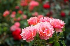 Свежий красивый зацветая пук розовой розы апельсина на запачканных красных розах и зеленом цвете выходит предпосылка сада на день Стоковые Изображения