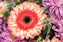 свежий красный цветок апельсина стоцвета gerbera Стоковое Фото