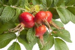 свежий красный цвет листьев вальм поднял Стоковая Фотография RF