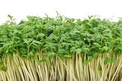 свежий кресс-салат Стоковые Фото