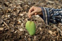 Свежий манго в руке Стоковое Изображение RF