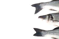 Свежий морской окунь 3 на светлой предпосылке Голова и 2 кабеля Стоковое Изображение