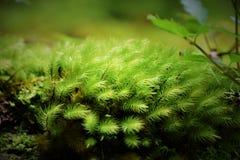 Свежий мох стоковая фотография