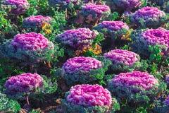 Свежий молодой органический collard зеленеет, сад капусты стоковые изображения rf