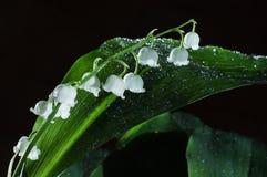 свежий нюх лилии стоковое изображение