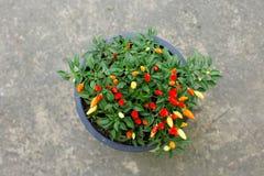 свежий овощ перца Стоковые Фотографии RF