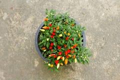 свежий овощ перца Стоковое Изображение