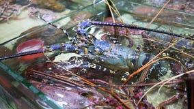 Свежий омар в рынке морепродуктов сток-видео
