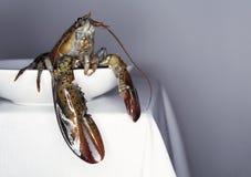 Свежий омар на белых плите и таблице стоковая фотография rf