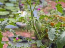 Свежий доморощенный зеленый баклажан Стоковые Фото