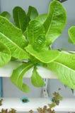 Свежий органический салат Rocket сада Стоковые Изображения RF