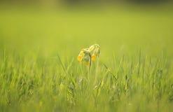 Свежий первоцвет цветков желтого цвета поднял на луг зеленого цвета весны Стоковая Фотография RF