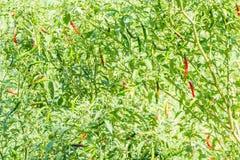 Свежий перец chili паприки на дереве Стоковые Фотографии RF