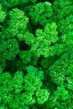 свежий петух Стоковое фото RF