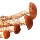 Свежий подосиновик гриба леса с толстой ногой гриба и влажной крышкой на белой предпосылке Стоковая Фотография RF