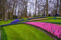 Свежий предыдущий пинк весны, пурпур, белые шарики гиацинта Flowerbed с гиацинтами в парке Keukenhof, Lisse, Голландии, Нидерланд Стоковое Фото