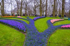 Свежий предыдущий пинк весны, пурпур, белые шарики гиацинта Flowerbed с гиацинтами в парке Keukenhof, Lisse, Голландии, Нидерланд Стоковые Изображения