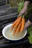 свежий пук морковей на старой предпосылке Стоковая Фотография RF