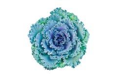 Свежий пурпуровый орнаментальный декоративный цветок капусты изолированный на белизне Стоковая Фотография