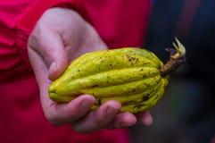 Свежий плодоовощ какао в руках фермеров Органический плодоовощ какао - здоровая еда, внутри тропического леса Амазонки в Cuyabeno Стоковые Фотографии RF