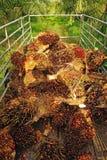 Свежий плодоовощ пальмового масла от тележки. Стоковые Фотографии RF