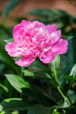 Свежий розовый крупный план цветка пиона Стоковые Изображения RF