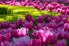 Свежий розовый Glade тюльпанов в саде Keukenhof Стоковые Изображения RF