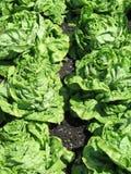 свежий салат зеленого цвета сада Стоковые Фото