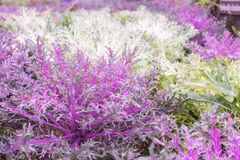 свежий салат листьев Красный и фиолетовый салат лист и зеленое lett Стоковые Изображения RF