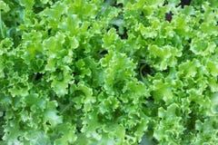 свежий салат сада Стоковая Фотография RF