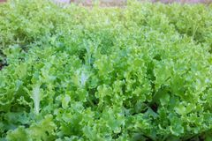 свежий салат сада Стоковые Изображения
