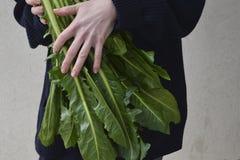 Свежий салат Cicoria Catalogna цикория стоковое фото rf