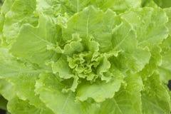 Свежий салат - Lactuca Ла sativa Стоковые Изображения